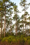 Pine Forest in Long Pine Area of Everglades NP Photographic Print by Terry Eggers