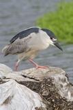 Black-Crowned Night Heron Photographic Print by Hal Beral
