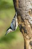 White-Breasted Nuthatch Photographic Print by Gary Carter