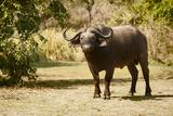Cape Buffalo (Syncerus Caffer) Photographic Print by Michele Westmorland