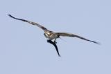Osprey in Flight with Fish Papier Photo par Hal Beral