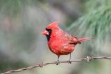 Cardinal rouge Papier Photo par Gary Carter