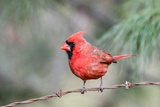 Northern Cardinal Photographic Print by Gary Carter