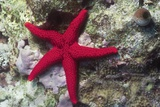 Sea Star Photographic Print by Hal Beral