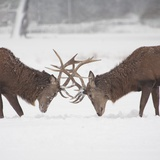 Mirror Image: Stags Locking Horns Photographic Print by Joanna Jackson