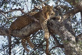 Leopard Resting in a Tree Photographic Print by Hal Beral