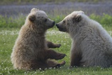 Nuzzling Grizzly Bear Cubs Photographic Print by W. Perry Conway