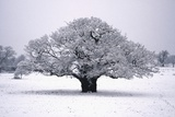 Oak Tree in Winter Photographic Print by Joanna Jackson