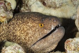 Yellowmargin Moray Photographic Print by Michele Westmorland