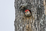Red-Bellied Woodpecker Photographic Print by Gary Carter