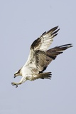 Osprey with Extended Talons Reproduction photographique par Hal Beral