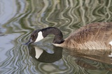 Canada Goose Closeup with Reflection Photographic Print by Hal Beral
