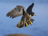 Peregrine Falcon in Flight Photographic Print by W. Perry Conway