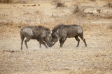 Young Warthogs Sparring Fotografisk tryk af Michele Westmorland