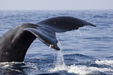 Humpback Whale Tail Photographic Print by Michele Westmorland