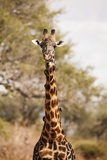 Endemic Thornicroft Giraffe Photographic Print by Michele Westmorland