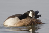 Canada Goose Grooming its Feathers Photographic Print by Hal Beral