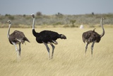 Ostriches Photographic Print by Michele Westmorland