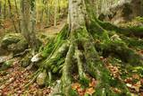 Roots of Spruce with Moss, Garnitzenklamm, Hermagor, Carinthia, Austria Photographic Print by Frank Krahmer