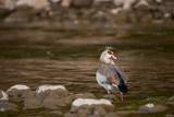 Egyptian Goose Photographic Print by Michele Westmorland