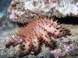 Crown-Of-Thorns Sea Star Photographic Print by Hal Beral