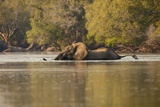 African Elephant Crossing River Photographic Print by Michele Westmorland
