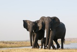 Elephants (Loxodonta Africana) Photographic Print by Sergio Pitamitz