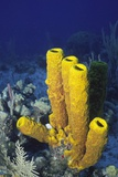 Yellow Tube Sponge Photographic Print by Hal Beral