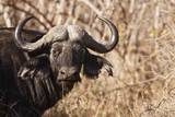 Cape Buffalo Photographic Print by Michele Westmorland