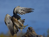 Peregrine Falcon Landing Photographic Print by W. Perry Conway