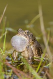 Fowler Frog Photographic Print by Gary Carter
