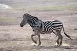 Common Zebra Photographic Print by Sergio Pitamitz