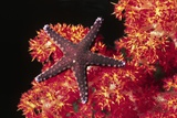 Warty Sea Star on Soft Coral Photographic Print by Hal Beral