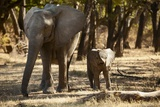 African Elephants with Calf Photographic Print by Michele Westmorland