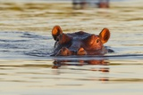 Hippopotamus in Water Photographic Print by Michele Westmorland