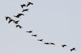 Glossy Ibis (Plegadis Falcinellus) Reproduction photographique par Sergio Pitamitz