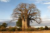Baobab Tree Photographic Print by Michele Westmorland