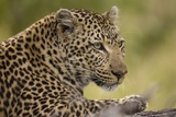 Leopard close Up Photographic Print by Michele Westmorland