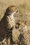 Cheetahs Photographic Print by Michele Westmorland