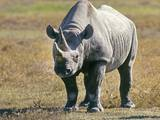 Rhino in Kenya Photographic Print by Buddy Mays