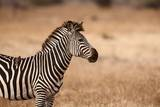 Crawshay's Zebra Photographic Print by Michele Westmorland