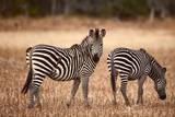 Crawshay's Zebras Photographic Print by Michele Westmorland
