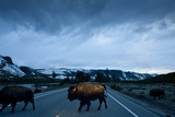 Bison Herd, Yellowstone National Park, Wyoming Fotografisk tryk af Paul Souders
