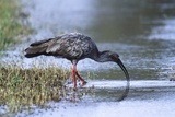 Plumberous Ibis Photographic Print by Hal Beral