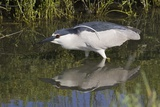 Black-Crowned Night-Heron Hunting Photographic Print by Hal Beral
