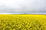 Canola Field in Full Fresh Bloom Photographic Print by Terry Eggers