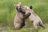 Pair of Brwon (Grizzly) Bears Play Fighting Photographic Print by Hal Beral