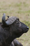 African Buffalo Photographic Print by Sergio Pitamitz