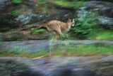 Cougar Running across Boulder Creek Photographic Print by W. Perry Conway