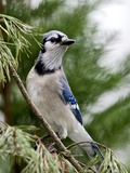 Geai bleu Papier Photo par Gary Carter